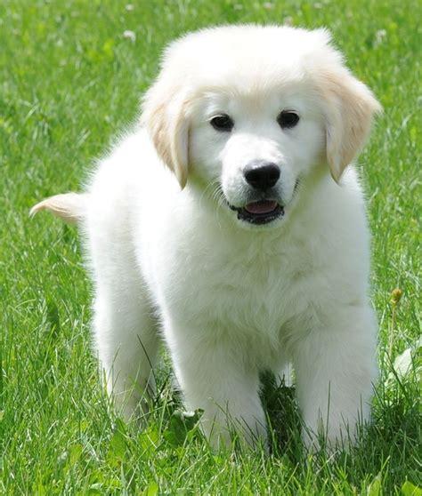 golden retriever puppies katy tx 25 b 228 sta golden retrievers id 233 erna p 229 golden retriever hundar