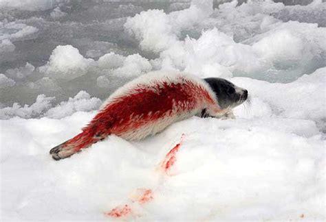 imagenes de focas blancas las focas en peligro de extincion