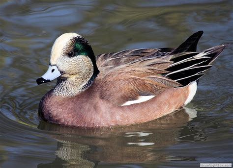 breed representative species types of ducks duck pictures to aid identification of species wildfowl photography