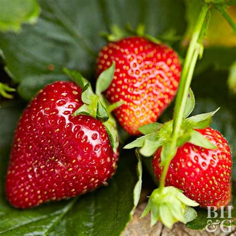 Patio Strawberries by How To Grow Strawberries