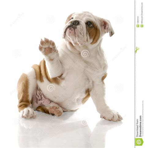 puppy up puppy holding up paw stock images image 12823104
