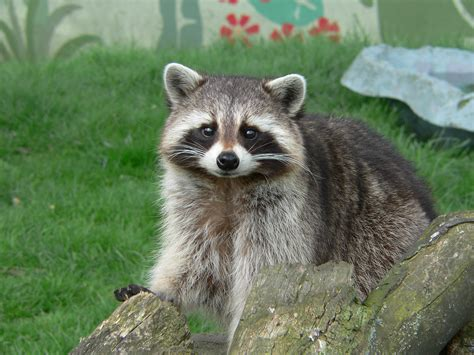 how to repel raccoons abc humane wildlife
