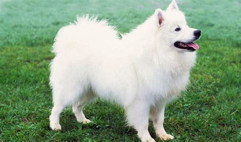 fluffiest breeds fluffiest breeds pets world