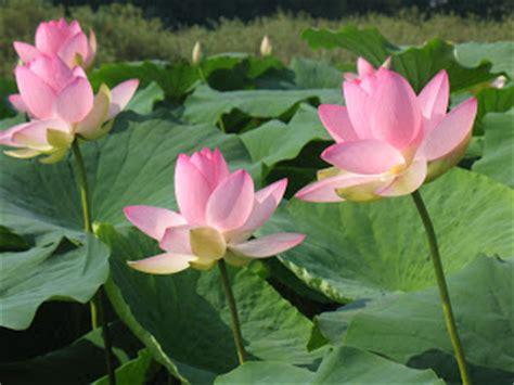 fiori di loto mantova fotografando questo e quello laghi di mantova