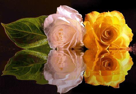 imagenes de rosas sobre agua rosas im 225 genes fotos y gifs para compartir p 225 gina 8