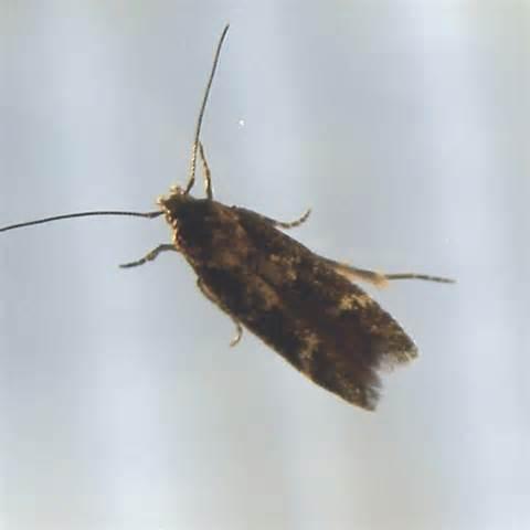 tiny moths all house image gallery tiny moths