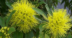budidaya tanaman hias brokoli kuning konsep
