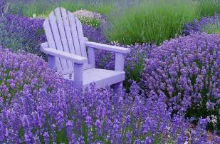 garten lavendel lavender in your garden ideas for home garden bedroom