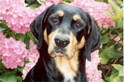 level  hound dogs   breeds memrise