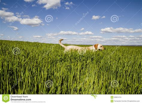 lab puppies indiana labrador retriever in wheat field stock images image 30951474