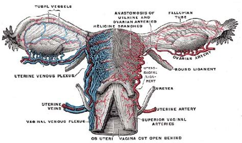 anatomy of the uterus with diagram uterus anatomy britannica