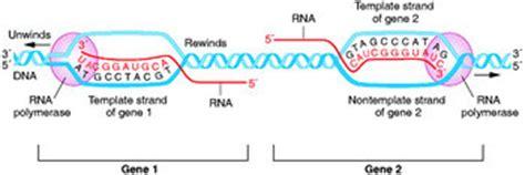 non template strand valencia informational metabolism 2007 igem org