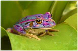 colored frogs pastel purple frog frisky frogs