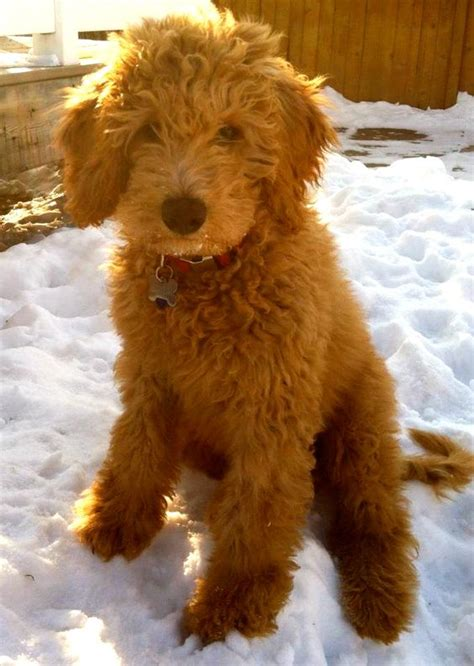 mini goldendoodle how big do they get the world s catalog of ideas
