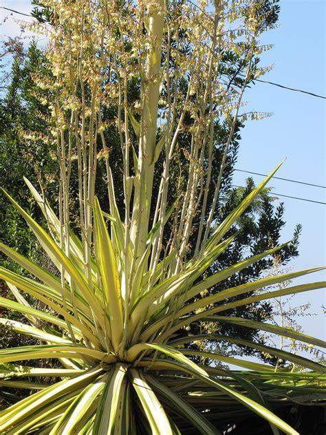 grow mauritius hemp