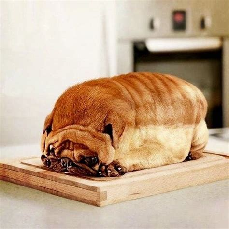 pug loaf of bread loaf www imgkid the image kid has it