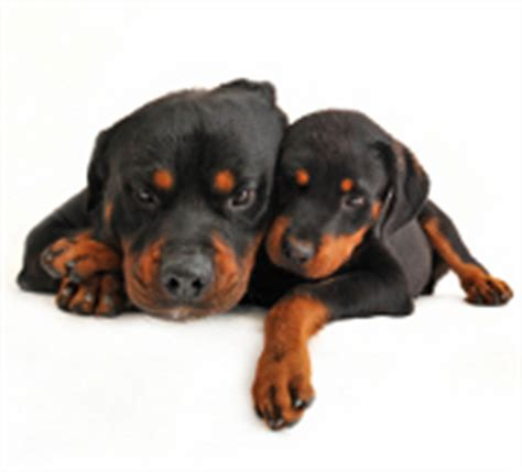 taking care of rottweiler puppies taking care of a puppy a of rottweilers
