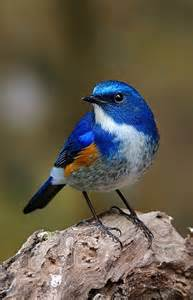himalayan bluetail tarsiger rufilatus a small bird of forests in the himalayas somchai