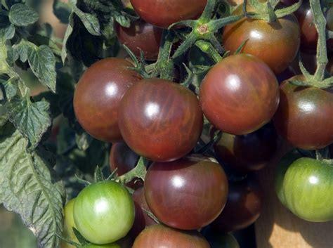 Tomot Black Plum plants de tomates d 233 couvrez 5 vari 233 t 233 s