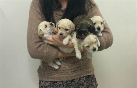 yorkie bichon puppies for sale in wisconsin teddy puppies for sale in iowa breeds picture
