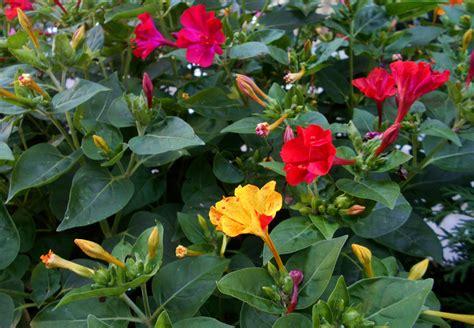 fiori da piantare a marzo fiori da piantare a marzo la di notte pollicegreen