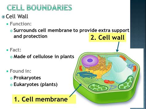 4 proteins found in cell membrane 4 2 organelles ppt