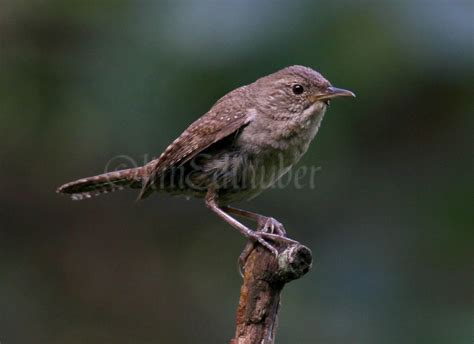 house wren food house wrens gathering food for the august 12 2014 window to wildlife photography by