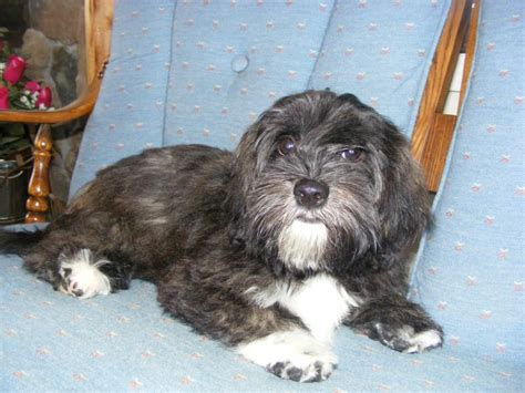 brindle havanese sheryl s must havs havanese the of our show