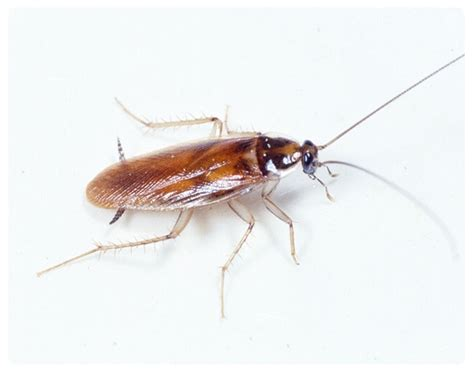 Kakerlake Deutschland by Cockroaches In Sydney Pest Company Sydney