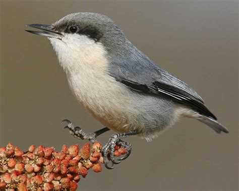 pygmy nuthatch audubon field guide