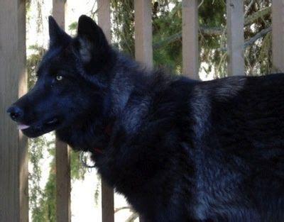 varg  black phase upper mid content wolfdog wolf dog