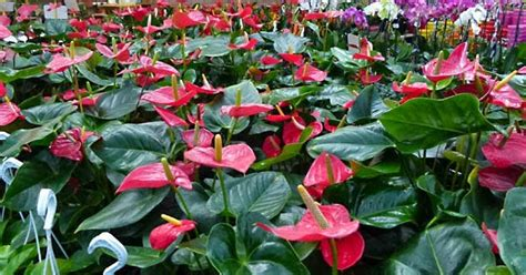 mi remanso de paz flores de goma mi remanso de paz anthurium cuidados e informaci 243 n