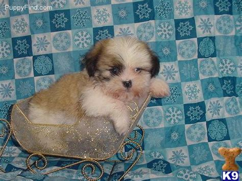 shih tzu stud near me maltese shih tzu mix puppies for sale in pa
