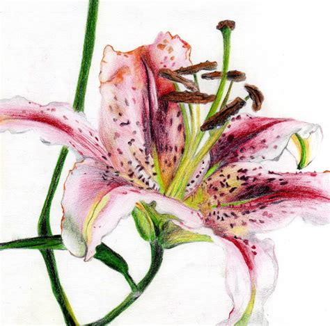 0007275528 botanical painting with coloured pencils drawing of a lily i did using coloured pencils prints