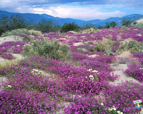 Anza Borrego Wildflowers 2017 by Sfondi Prati Di Fiori 81 Sfondi In Alta Definizione Hd