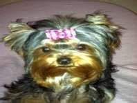 ksl free dogs 17 best images about yorkies on pet accessories yorkie puppies for sale