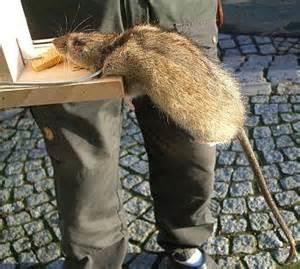wanderratte im garten fallen mit genickb 252 gel f 252 r wanderratten ratten