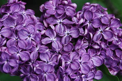 yankee doodle flower syringa vulgaris some selections landscape plants