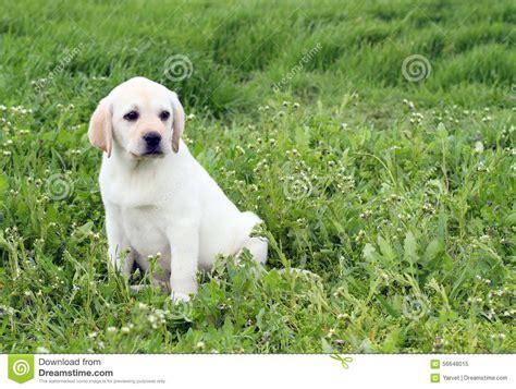 green labrador puppy yellow labrador puppy in green grass stock photo image 56648015