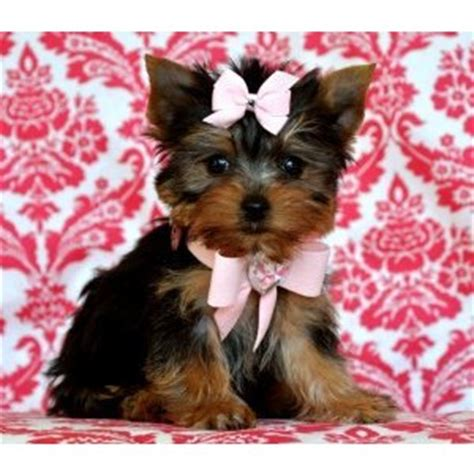 teacup puppies for sale in florida puppies for sale florida teacup puppies for sale florida p polyvore
