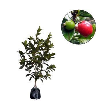 Tanaman Buah Cherry Barbados 1 Meter Siap Berbuah bibit tanaman murah cherry barbados best buy indonesia
