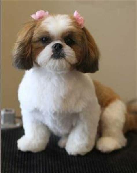 pictures of haircut teddy bear cut shihtzu shih tzu 4 lamb cut tbf dogs pinterest dog dog