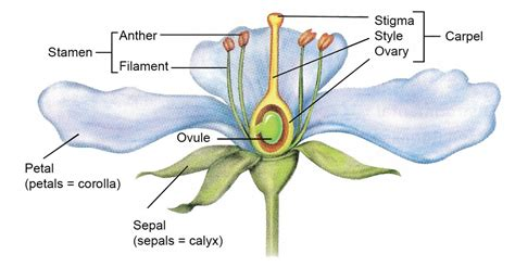 plant reproduction diagram sexual reproduction in plants mv study guide biology