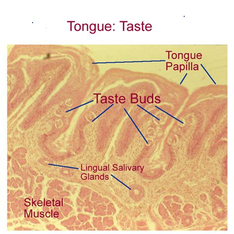 taste buds sections biology 2404 a p basics