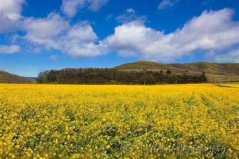 velarde photography california landscapes flower field