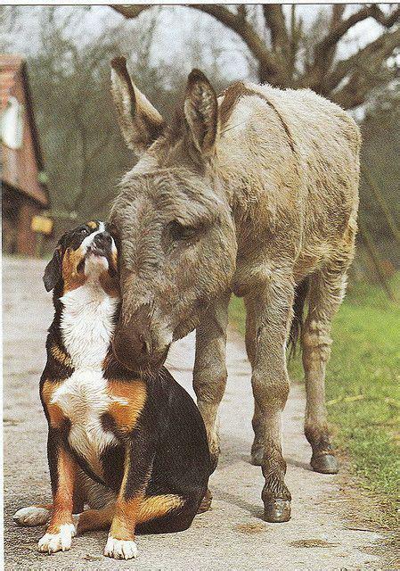 Two Donkeys Two 1 Mountain Eze by Great Swiss Mountain Postcard 1 Animal