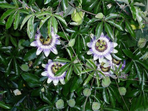 Pflanzen Sichtschutz Schnellwachsend by Sichtschutz Pflanzen Schnellwachsend My