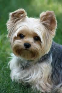 pictures of puppy haircuts for yorkie dogs cutest puppy cut for a yorkie cute things pinterest