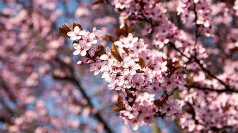 Blume Mit Rosa Blüten by Die 92 Besten Fr 252 Hling Wallpapers