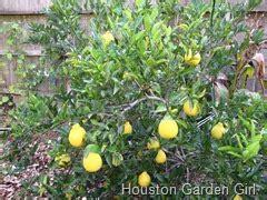 houston fruit tree sale houston garden fruit tree series 1